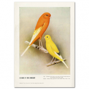 Art Print #50 - Canaries in the Limelight