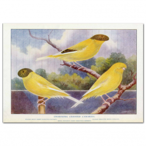 Art Print #54 - Charming Crested Canaries