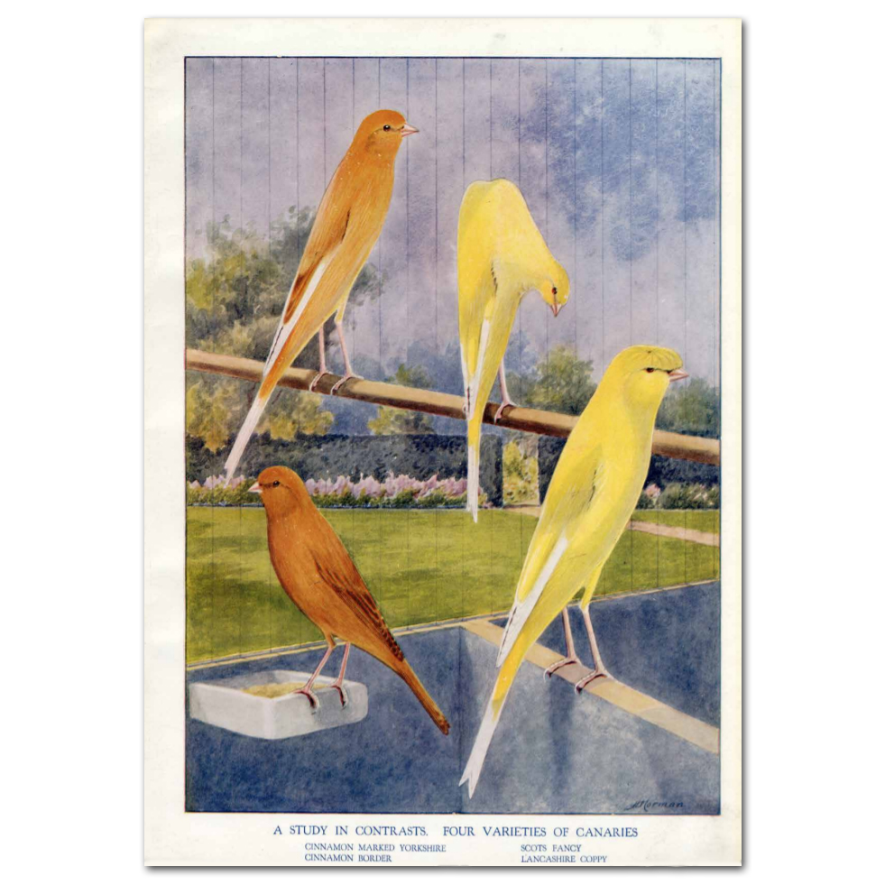Art Print #56 - A Study of Contrast. Four Varieties of Canaries