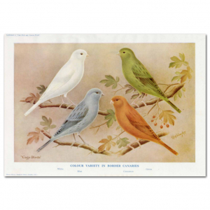 Art Print #70 - Colour Variety in Border Canaries