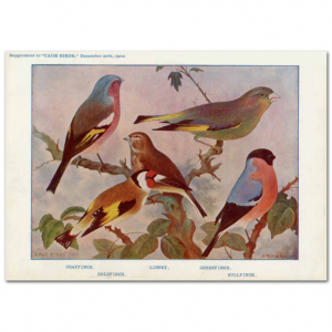 Art Print #71 - Variety of Finches
