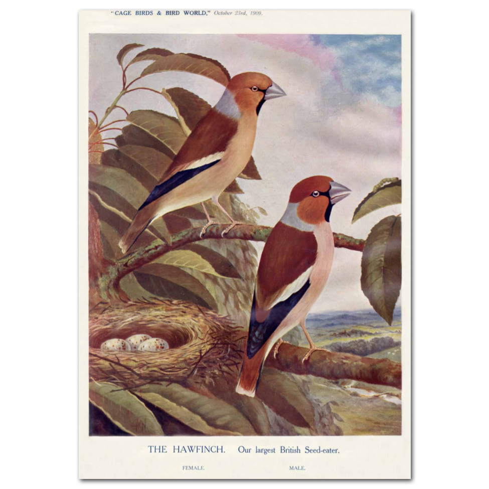 Art Print #73 - The Hawfinch