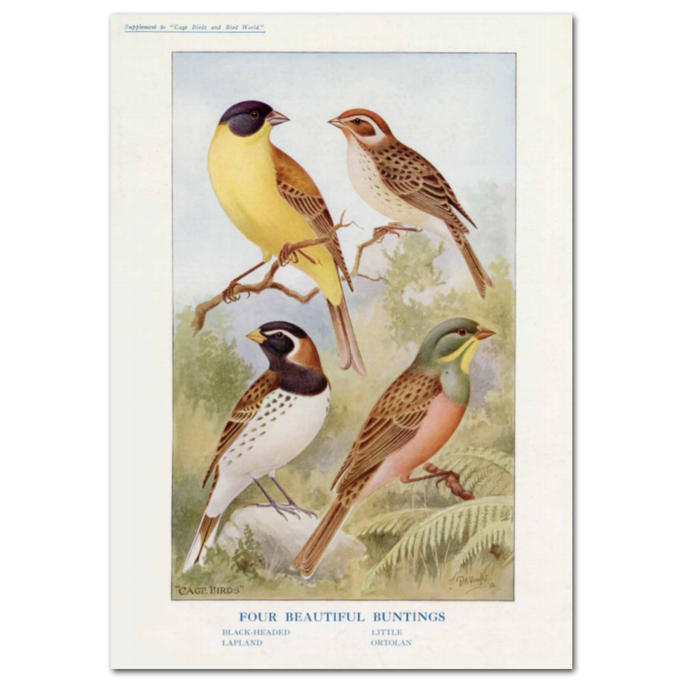 Art Print #81 - Four Beautiful Buntings
