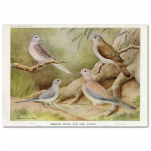 Art Print #83 - Foreign Doves for the Aviary