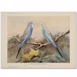 Art Print #35 - Blue Budgerigars