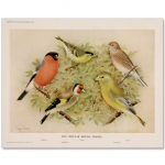 Art Print #26 - Five British Finches