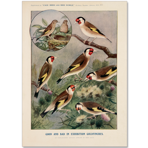 Art Print #40 - Exhibition Goldfinches