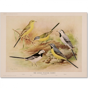 Art Print #27 - Wagtail Family